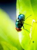 Red eyes fly perched on a leaf. Stock Photos