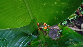Red Eyes Frog. Shot in la fortuna / Arenal volcano Observatory  Costa Rica Stock Photo