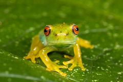 Red eyes green frog. On leaf Royalty Free Stock Images