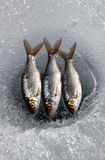 Three fish on ice. Three roach lying on ice above a line fishing hole Stock Images