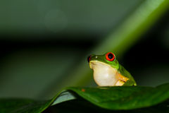 Red eyes tree frog Royalty Free Stock Images