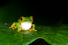 Red eyes tree frog Stock Images