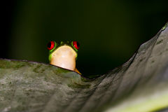Red eyes tree frog Royalty Free Stock Photos