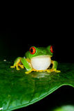 Red eyes tree frog Stock Photography