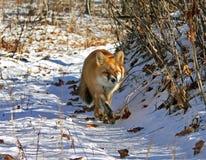 red för 13 räv Arkivfoton