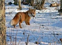 red för 15 räv Arkivbild