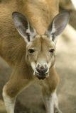 red för 2 känguru Arkivbilder