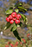 red för alnwick crabappleträdgård royaltyfri bild
