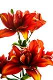 red för blommaliliumlilja Arkivbilder
