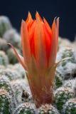 red för kaktusblommamakro Arkivfoton