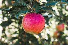 red för leaf för äpplefilialgreen Arkivfoton