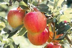 red för leaf för äpplefilialgreen Royaltyfri Fotografi