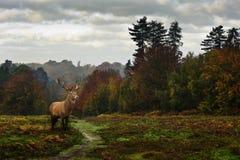 red för liggande för skog för hösthjortfall royaltyfri foto