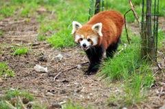 red för liten panda Arkivbilder