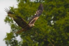 red för rov för fågelflygdrake royaltyfri fotografi