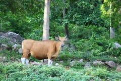 red för skog för bakgrundsbantengtjur arkivbilder