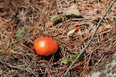 Red förgiftad champinjon som växer i skogen royaltyfri fotografi