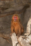 A red face monkey in a zoo Stock Photography