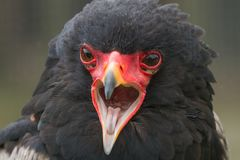 A red faced Bateleur Eagle portrait. A photo portrait of an adult Bateleur Eagle calling with reflections in it,s eyes royalty free stock photos