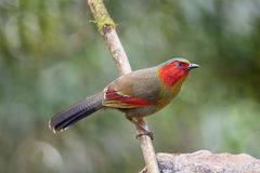 Red-faced bird, Scarlet-faced Liocichla Stock Photos