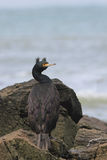 Red-faced Cormorant Stock Photo