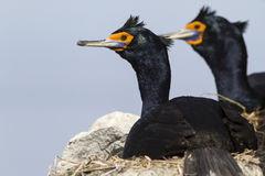 Red-faced cormorants sitting in nests on the cliffs on a sunny Stock Image