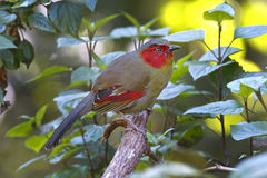 Red-faced Liocichla Liocichla phoenicea Beautiful Birds of Thailand Stock Image