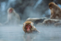 Red Faced Monkey on Body of Water Photo Stock Images