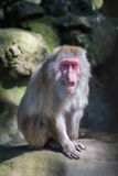 Red faced monkey in the zoo Royalty Free Stock Images