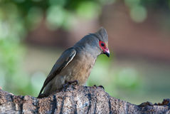 Red-faced mousebird. Adult red-faced mouse-bird Royalty Free Stock Photos