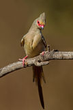Red-Faced mousebird. Perched on dry twig; Urocolius indicus royalty free stock photography