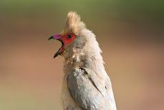 Red-faced mousebird urocolius indicus Stock Photo