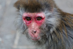 The old monkey Royalty Free Stock Photo