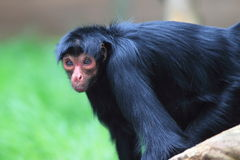 Red-faced spider monkey Royalty Free Stock Photos