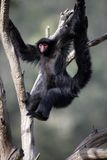 Red-faced spider monkey, Ateles paniscus Stock Photography