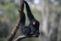 Red-faced spider monkey, Ateles paniscus royalty free stock photos
