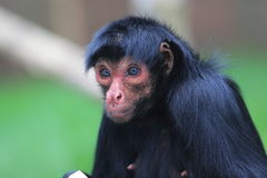 Red-faced spider monkey Stock Images