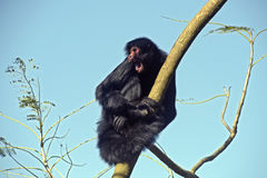 Red-faced spider monkey moving among tree branches Royalty Free Stock Photos