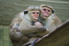 Red faces macaque (Macaca fuscata) with baby Royalty Free Stock Images