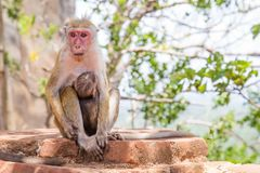 Free Red Faces Macaque Macaca Fuscata On Top Of The SIgiriya Mount Stock Images - 115163344