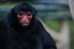 Red-Faces Spider Monkey Royalty Free Stock Image