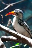 Red-facturados hornbill Royalty Free Stock Image