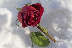 Dried rose frosted on snow cover Royalty Free Stock Image