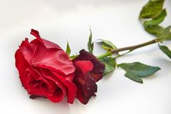 Red faded rose on a white background. Close-up stock image