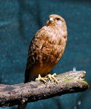 Red falcon. A profile of a small red falcon royalty free stock photos