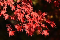 Red Fall / Autumnal Leaves stock image