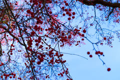 Red fall berries Stock Images