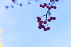 Red fall berries Stock Image