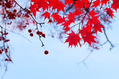 Red fall berries Stock Photo