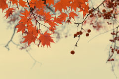Red fall berries Stock Photography